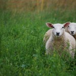 Fav-sheep-in-pasture_sm_wm